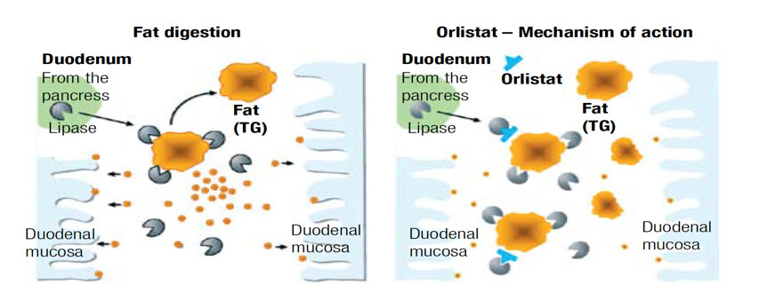 Efectos de la farmacología sobre la digestión y absorción de grasas. Centro Pronaf